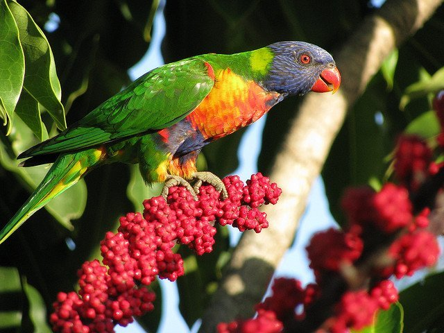 Colorful birds Rainbow Lorikeet