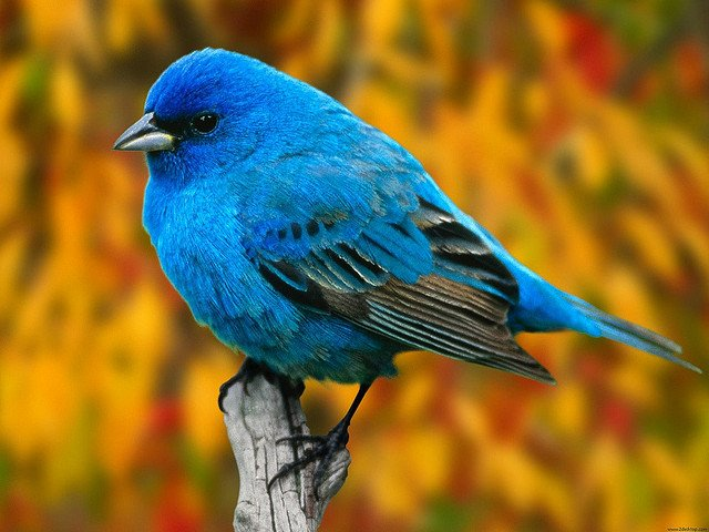 Indigo Bunting Royal blue bird