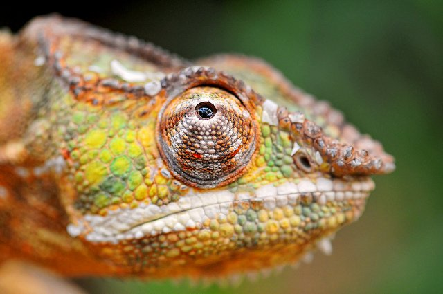 chameleon eyes 360 degrees