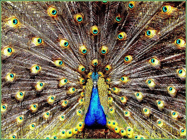 Majestic colorful peacock feathers