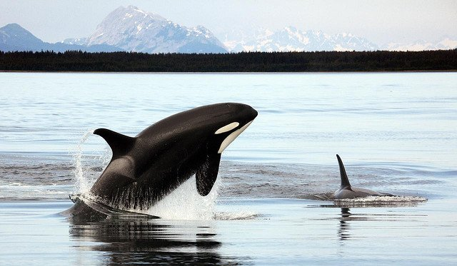 killer whales are dolphins