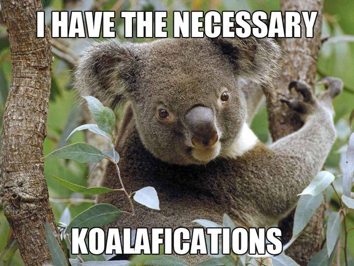 koalifications meme animals zone