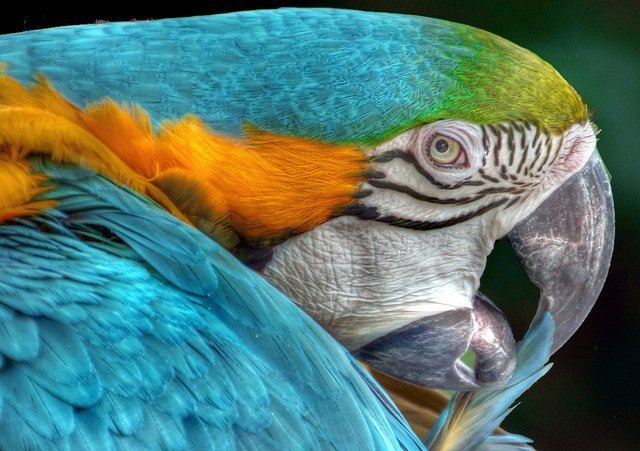 blue multicolered parrot