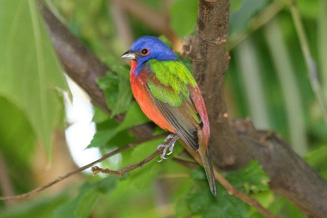 painted bunting beautifully multi colored