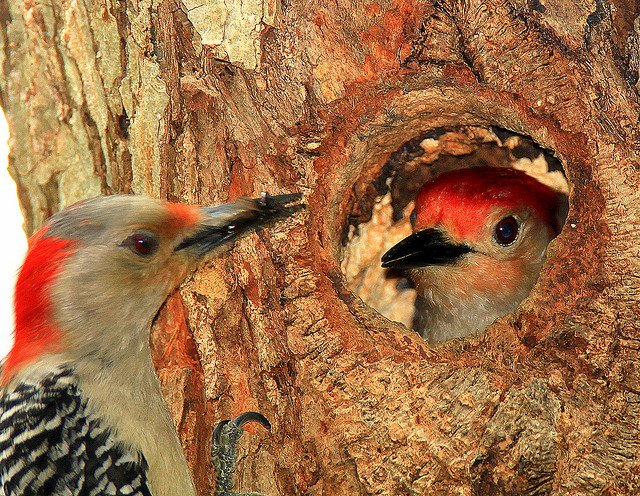 woodpecker 20 pecks per second