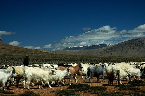 Blue Sheep (bharel) flock in himalayas