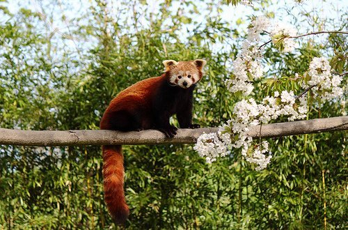 red panda sitting on himalayan tree
