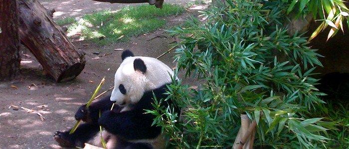 Panda's legendary tale