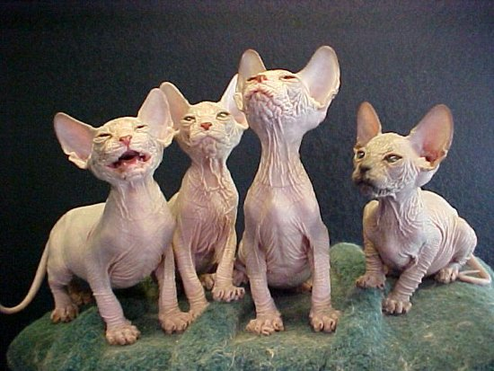 Sphynx kittens by @JLplusAL (https://www.flickr.com/photos/justinlindsay/94554682/)