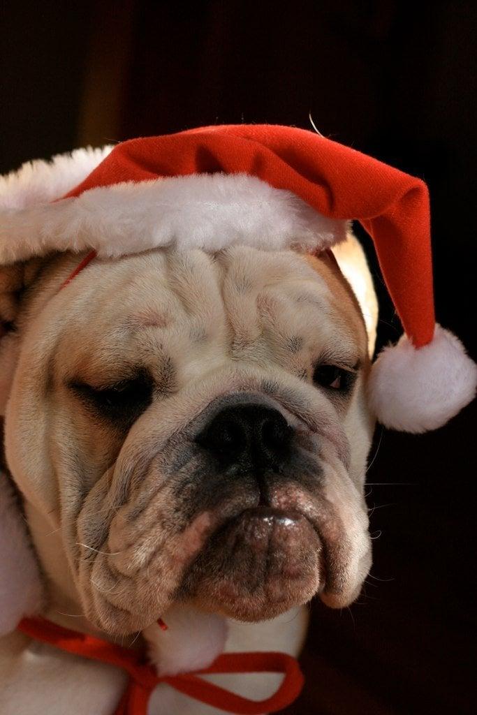 grumpy-santa-dog