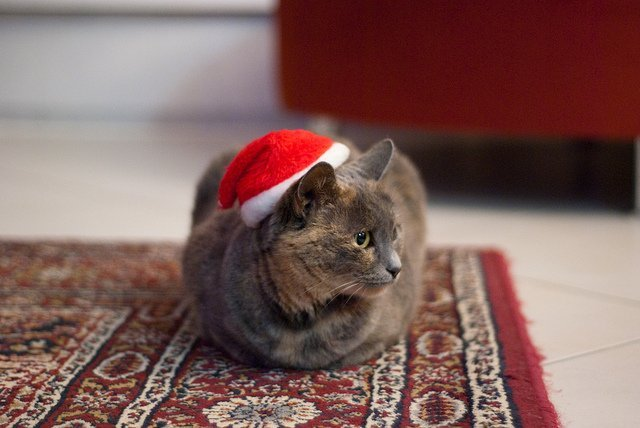 cat-santa-hat