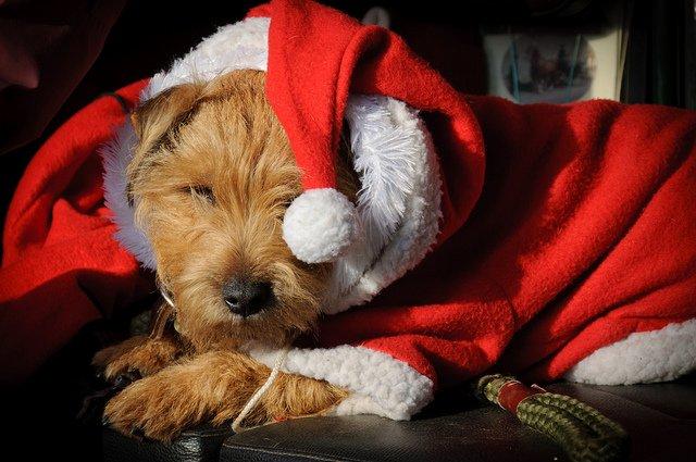little-santa-dog