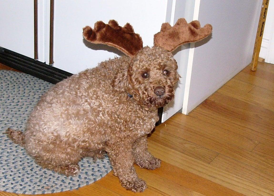 reindeer-dog