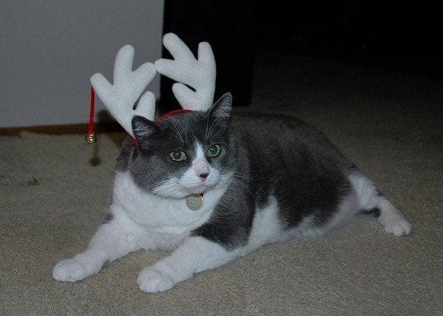 cat-reindeer
