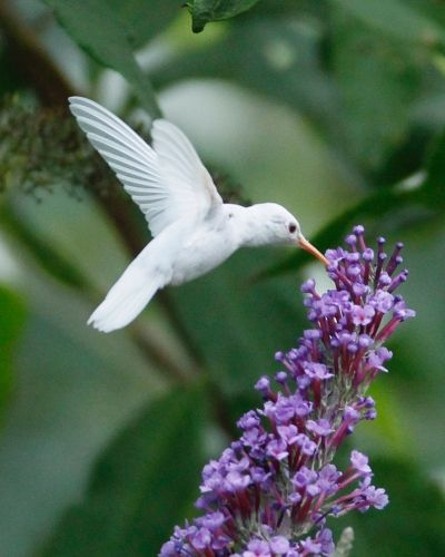 albin-hummingbird