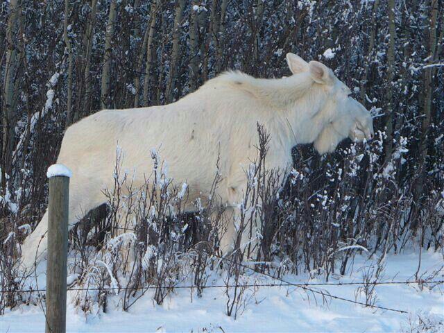 albino-moose