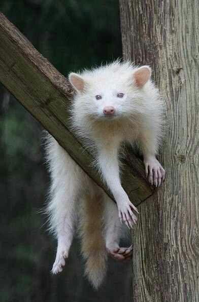 albino-racoon