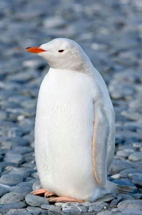 white-pinguin