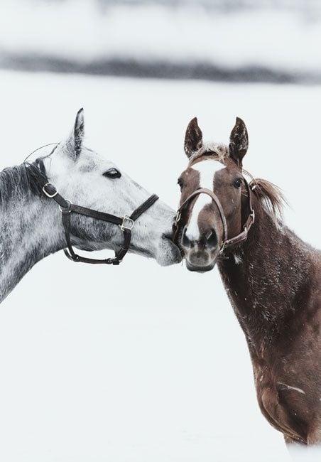 horses-kissing-love