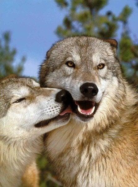 wolves-kissing-love