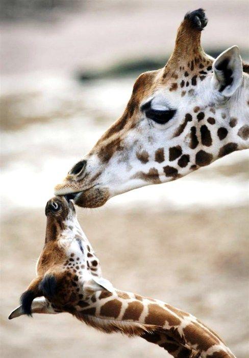 giraffes-kissing