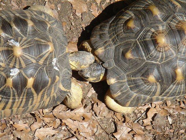 turtles-kissing-love