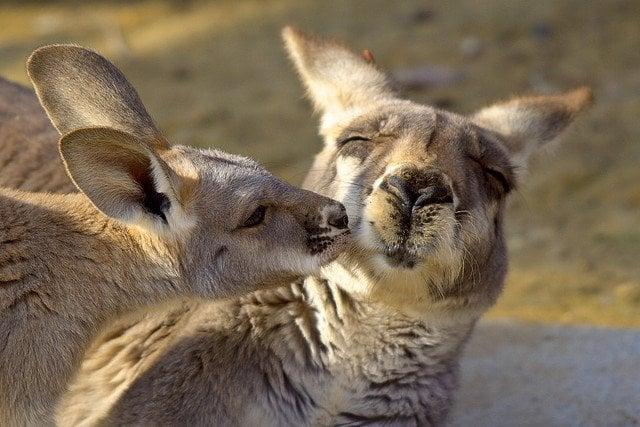kangaroos-kissing