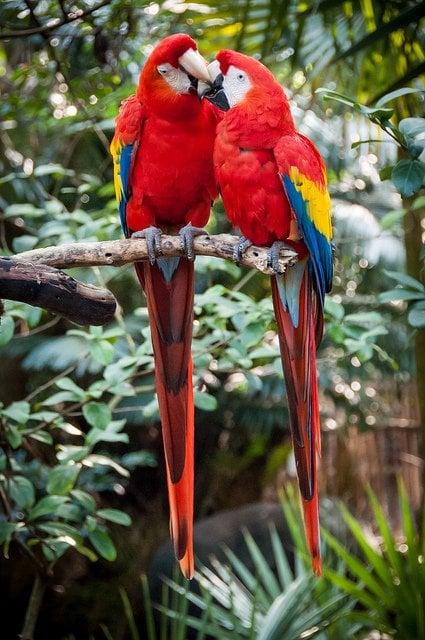 parrots-kissing-love