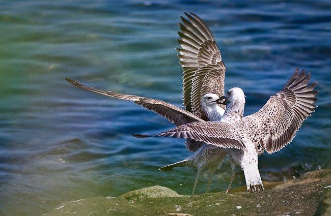 kissing-birds-love