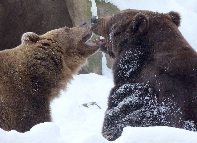 bears-kissing