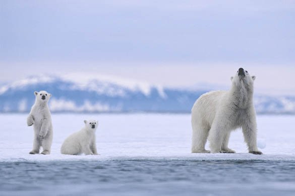 adorable-polar-bear-family