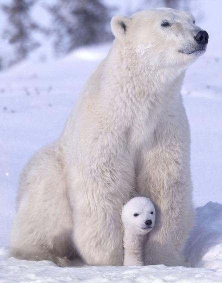 baby-and-mama-polar-bears