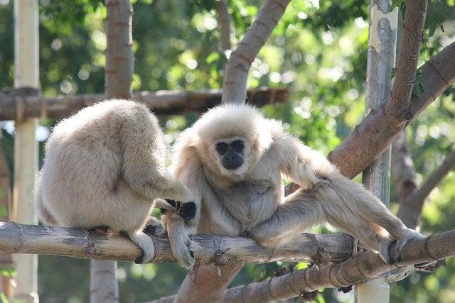 gibbons-love