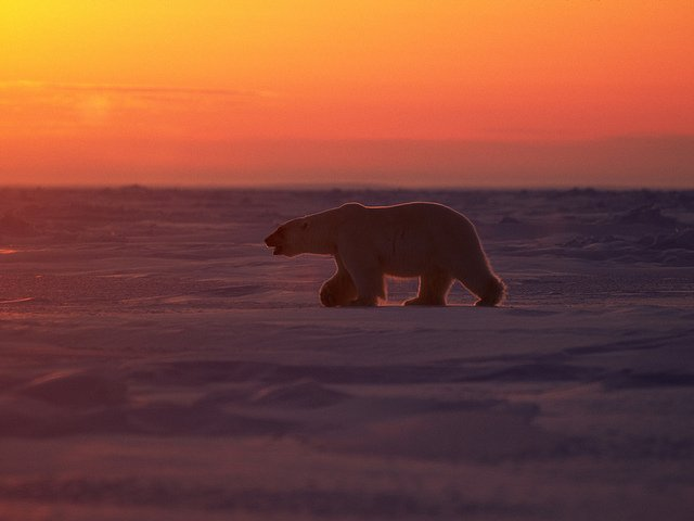 polar-bear-sunset
