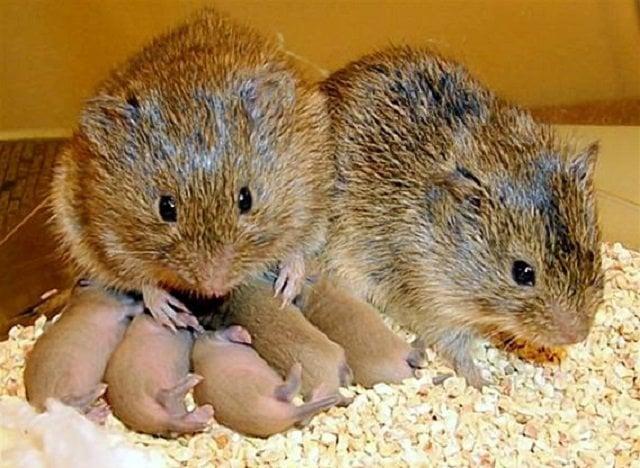 prairie-voles-love