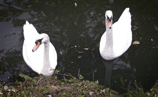 swans-couple