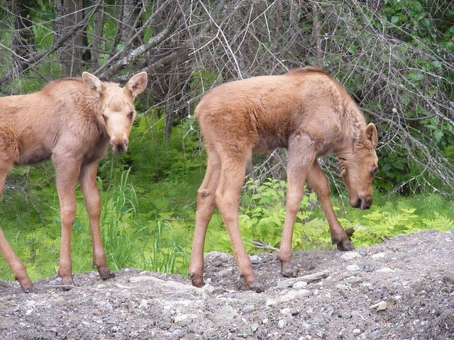 baby-moose