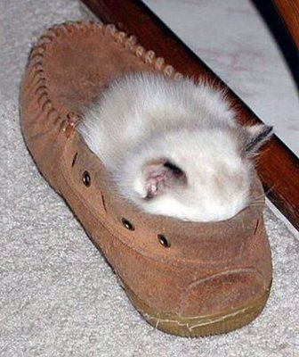 kitte-n-a-a-shoe