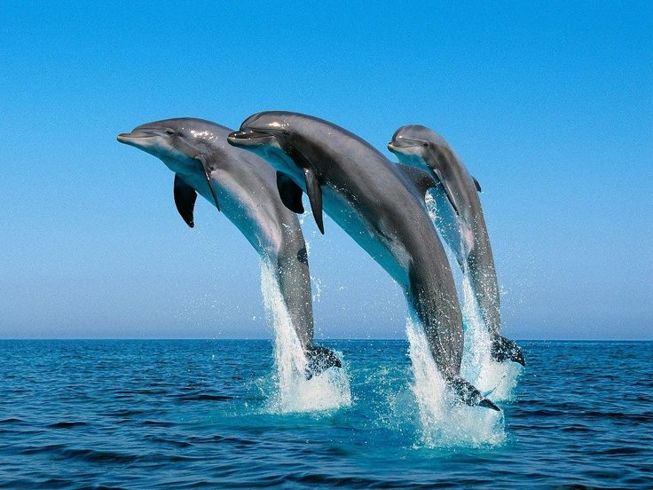 dolphins-jumping