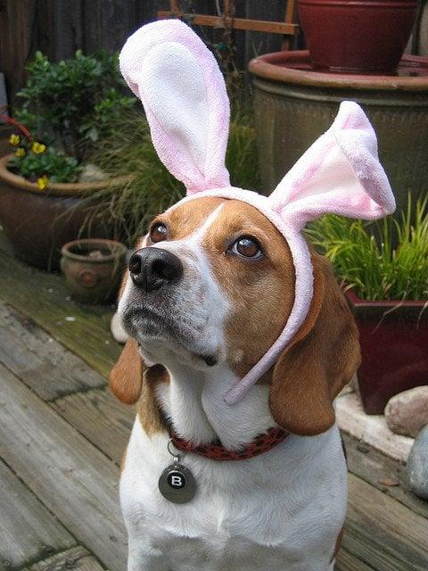 easter-beagle