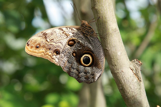giant-owl-butterfly