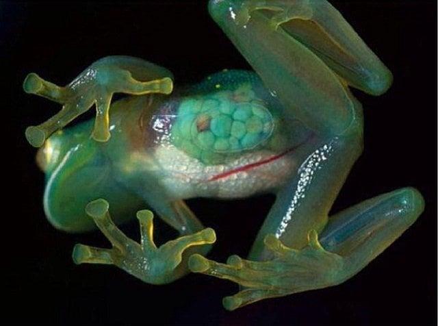 glas-frog
