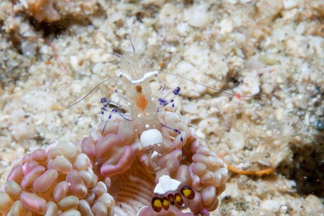 glass-shrimp