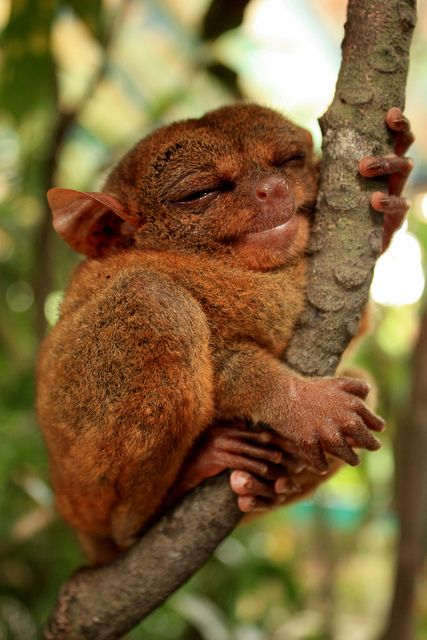 happy-tarsier