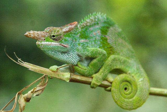 male-chameleon