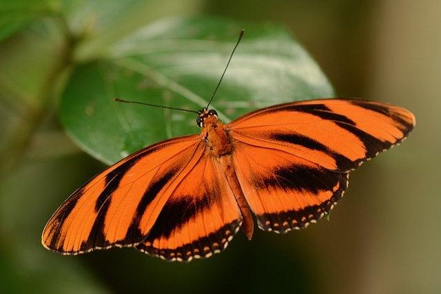 orange-tiger-butterfly