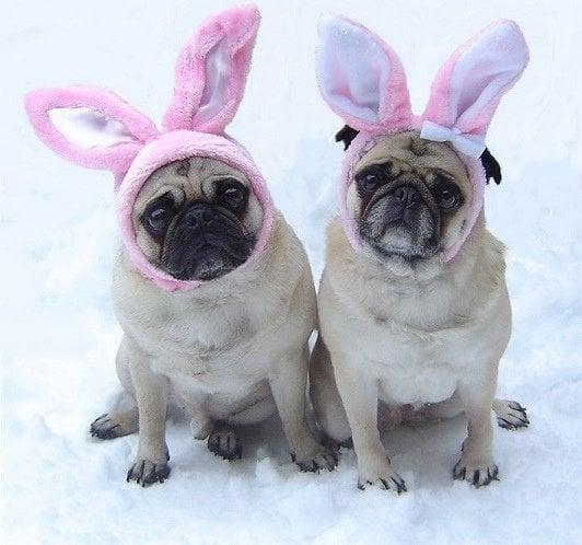 pug-bunnies