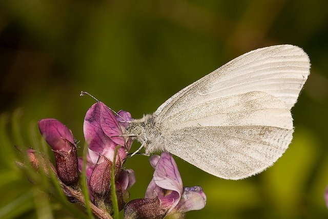 wood-white-butterfly