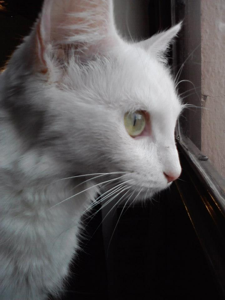 La gata Paz mirando la calle de la que Cristina la rescató.