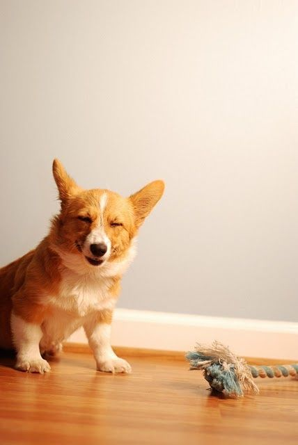 adorable-corgi
